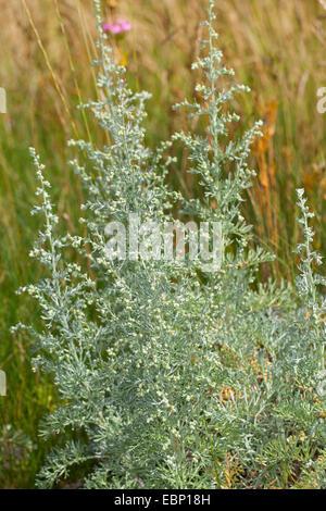 Sea wormwood, Sea-wormwood, Old woman (Artemisia maritima, Seriphidium maritimum), blooming, Germany - Stock Photo