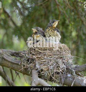 fieldfare (Turdus pilaris), young birds in the nest shortly before fledging, Finland - Stock Photo