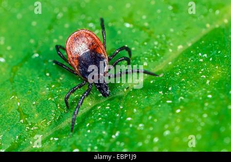 European castor bean tick, European sheep tick (Ixodes ricinus), female lurking on a leaf, Germany - Stock Photo