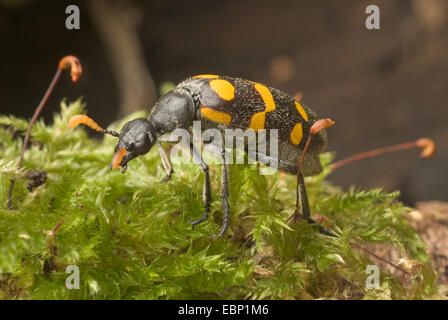 Blister beetle (Meloidae spec.,), on moss - Stock Photo