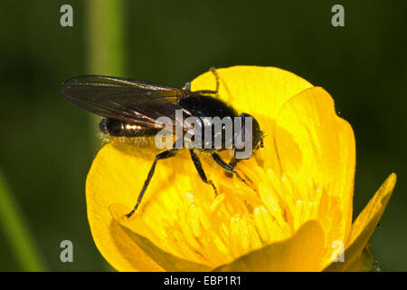 Hoverfly (Cheilosia spec.), on buttercup flower, Germany - Stock Photo