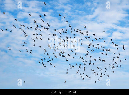 Domestic pigeon (Columba livia f. domestica), flying flock of pigeons , Germany, North Rhine-Westphalia - Stock Photo