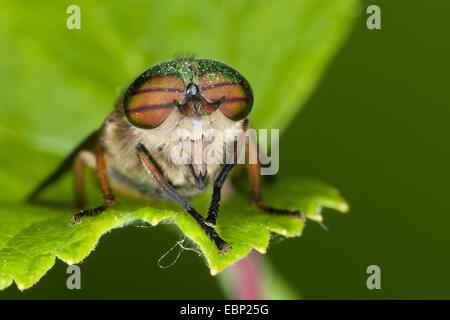 Horse-flies (Hybomitra distinguenda, Hybomitra contigua, Therioplectes parvus, Therioplectes rufus), on a leaf, - Stock Photo