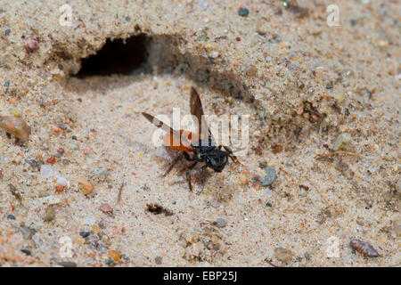 Sweat bee, Halictid Bee (Sphecodes albilabris, Sphecodes fuscipennis), taking off from its burrow, Germany - Stock Photo
