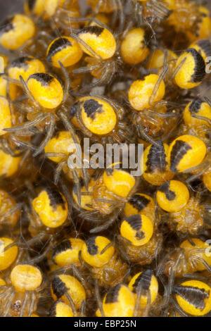 cross orbweaver, European garden spider, cross spider (Araneus diadematus), young spiders in a cocoon, Germany - Stock Photo