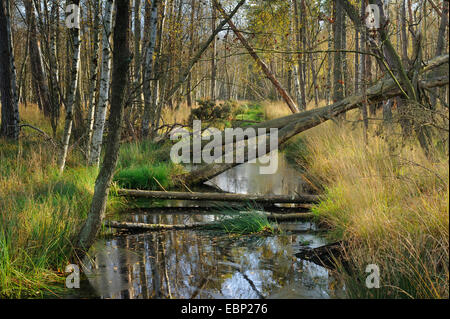moor and birches, Germany, Mecklenburg-Western Pomerania, Grosses Moor - Stock Photo
