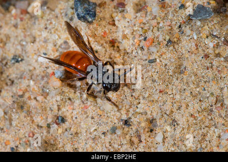 Sweat bee, Halictid Bee (Sphecodes albilabris, Sphecodes fuscipennis), on sandy ground, Germany - Stock Photo