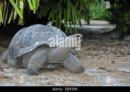 Seychelles giant tortoise, Aldabran giant tortoise, Aldabra giant tortoise (Aldabrachelys gigantea, Testudo gigantea, - Stock Photo