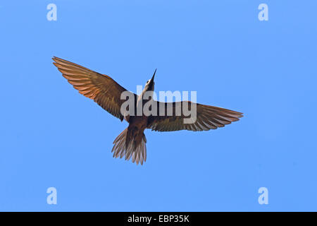 Common noddy, Brown Noddy (Anous stolidus), flying, Seychelles, Bird Island - Stock Photo
