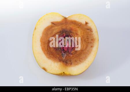apple (Malus domestica), apple with rotten core, caused by fusarium - Stock Photo