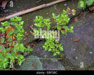 petty spurge euphorbia peplus euphorbiaceae as a weed in a garden stock photo 20629192 alamy. Black Bedroom Furniture Sets. Home Design Ideas