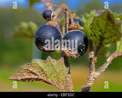 Hairy Black Nightshade (Solanum decipiens, Solanum nigrum subsp. schultesii), blooming, Germany - Stock Photo
