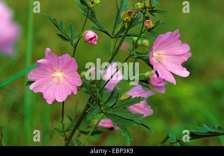 hollyhock mallow, large-flowered mallow, pink mallow, vervian cheeseweed (Malva alcea), blooming, Germany - Stock Photo