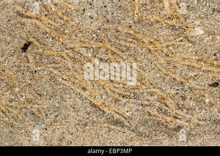 pygospio worm, tube-dweller (Pygospio elegans), exposed sand burrows in the wadden sea, Germany - Stock Photo