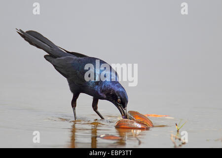 Boat-tailed grackle (Quiscalus major), male stands in shallow water and eats a mussel, USA, Florida - Stock Photo