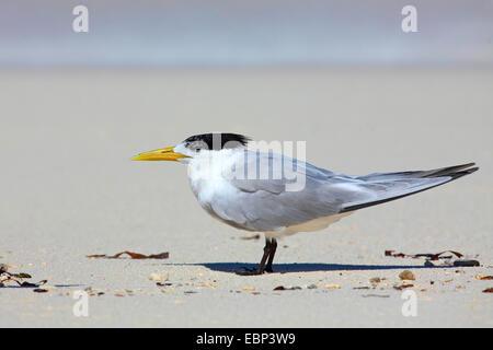 greater crested tern (Thalasseus bergii, Sterna bergii), stands on the beach, Seychelles, Bird Island - Stock Photo