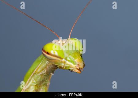 European preying mantis (Mantis religiosa), portrait - Stock Photo