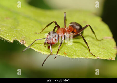 Southern wood ant, Horse ant (Formica rufa), on a leaf, Germany