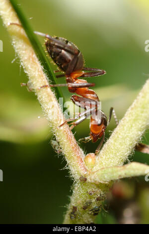 Southern wood ant, Horse ant (Formica rufa), on the hunt for greenflies, Germany