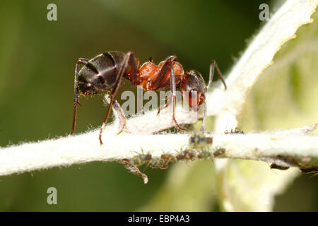 Southern wood ant, Horse ant (Formica rufa), on the hunt for greenflies, Germany - Stock Photo