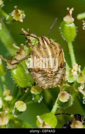 Italian Striped-Bug, Minstrel Bug (Graphosoma lineatum, Graphosoma italicum), nymph, Germany - Stock Photo