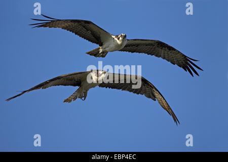 osprey, fish hawk (Pandion haliaetus), flying pair, USA, Florida - Stock Photo