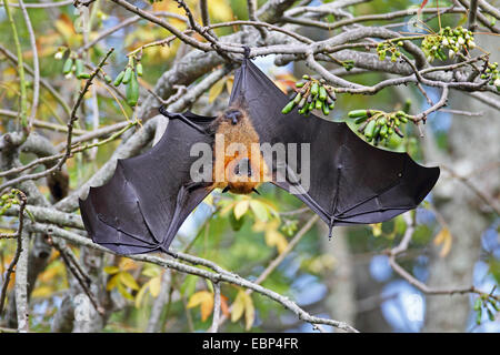 seychelles flying fox, seychelles fruit bat (Pteropus seychellensis), hanging with open wings headlong in a tree, - Stock Photo