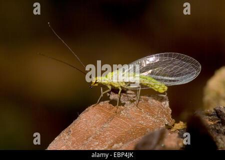 Lacewing (Hypochrysa elegans), on a brown leaf, Germany - Stock Photo