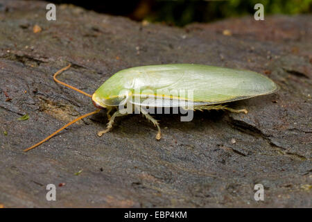 Cuban cockroach, Green Banana Cockroach (Panchlora nivea), on a stone - Stock Photo