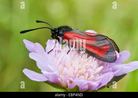 Transparent burnet (Zygaena purpuralis), on a scabious flower, Switzerland - Stock Photo