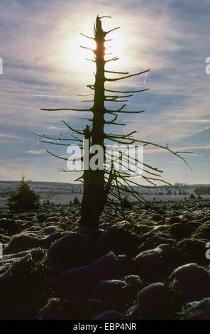 dead spruce in backlight, Belgium, High Fens, Baraque de Michel - Stock Photo