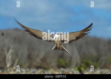 sooty tern (Sterna fuscata), landing in a colony, Seychelles, Bird Island - Stock Photo