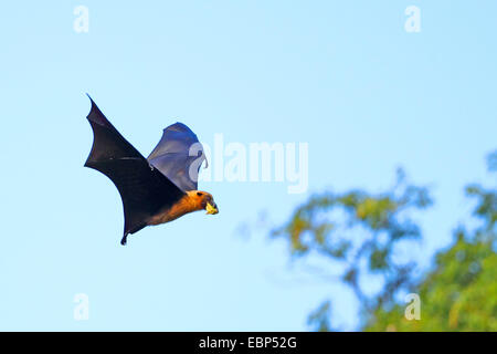 seychelles flying fox, seychelles fruit bat (Pteropus seychellensis), flying with fruit in the mouth, Seychelles, - Stock Photo