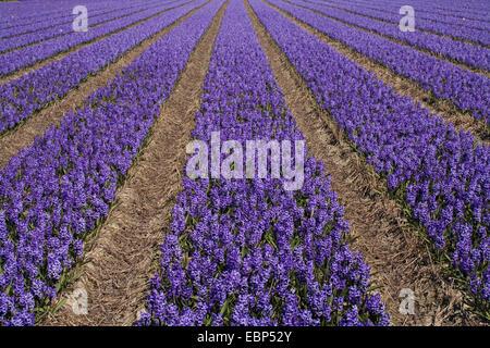 Jacinthe (Hyacinthus orientalis), Field of hyacinths at Keukenhof, Netherlands, Lisse - Stock Photo