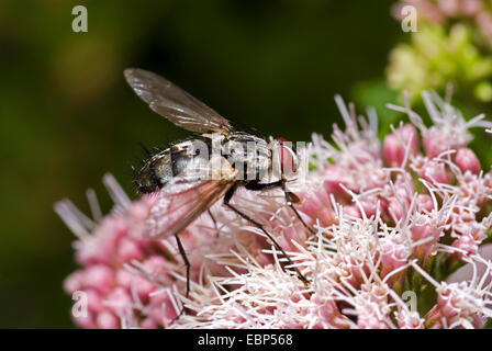 Parasite fly, Tachinid Fly (Dinera ferina), on flowering bonesets, Germany - Stock Photo