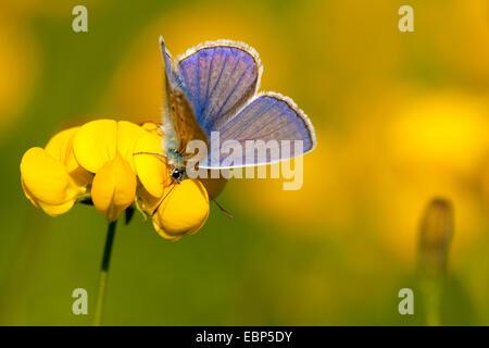 common blue (Polyommatus icarus), sitting on bird's-foot trefoil, Lotus corniculatus, Germany, Rhineland-Palatinate - Stock Photo