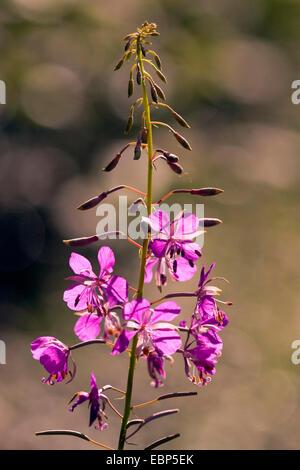Fireweed, blooming sally, Rosebay willow-herb, Great willow-herb (Epilobium angustifolium, Chamerion angustifolium), - Stock Photo