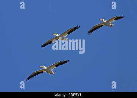 American white pelican (Pelecanus erythrorhynchos), flying troop, USA, Florida, Sanibel Island - Stock Photo