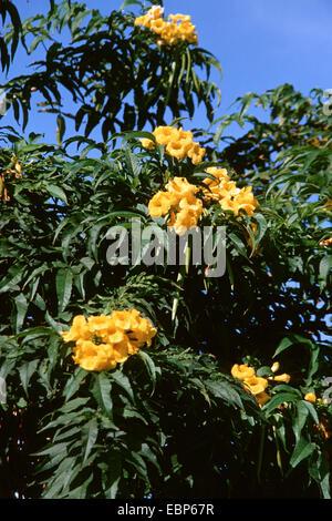 yellow trumpetbush, yellow bells,  yellow elder (Tecoma stans), blooming
