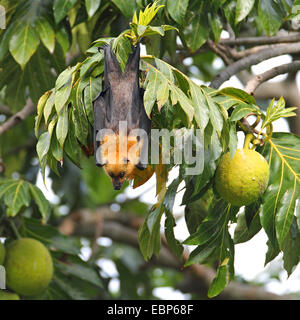 seychelles flying fox, seychelles fruit bat (Pteropus seychellensis), hanging in a breadfruit tree, Artocarpus altilis, - Stock Photo