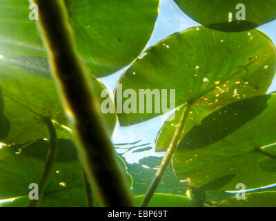 white water-lily, white pond lily (Nymphaea alba), floating leaves from below, Germany - Stock Photo