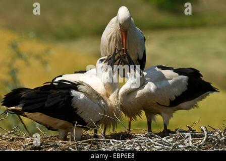 white stork (Ciconia ciconia), feeding juveniles at the nest, Germany, North Rhine-Westphalia