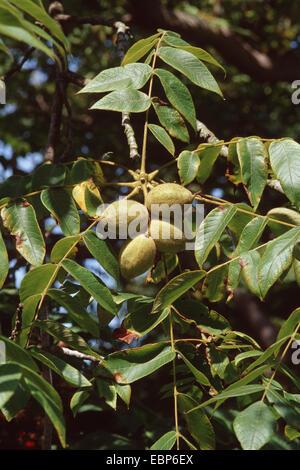 white walnut, butternut (Juglans cinerea), branch with fruits - Stock Photo