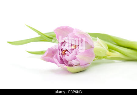 Pink tulip. Isolated on white background - Stock Photo