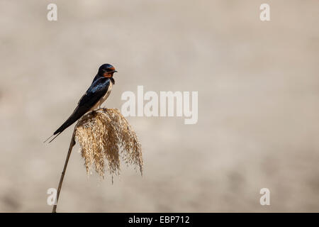 barn swallow resting on a rice plant - Stock Photo