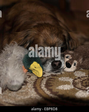 Portrait of older brown Tibalier dog lying down with cute dog toys on either side of its face with  catch light - Stock Photo
