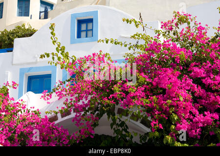 Imerovigli, Santorini, South Aegean, Greece. Typical blue and white village house covered in pink bougainvillea. - Stock Photo