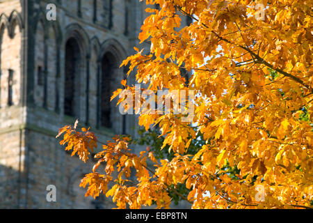 Durham, County Durham, England. Golden autumn leaves of an English oak (Quercus robur) in front of Durham Cathedral. - Stock Photo