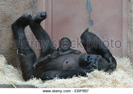 Female western lowland gorilla (Gorilla gorilla) called Kijivu with its newborn baby called Moja at Prague Zoo, - Stock Photo