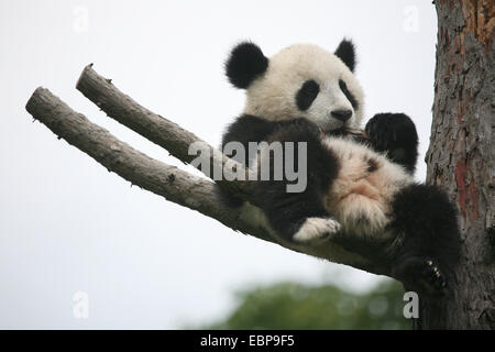Giant panda cub (Ailuropoda melanoleuca) called Fu Long rests on a dry tree at Schonbrunn Zoo in Vienna, Austria. - Stock Photo